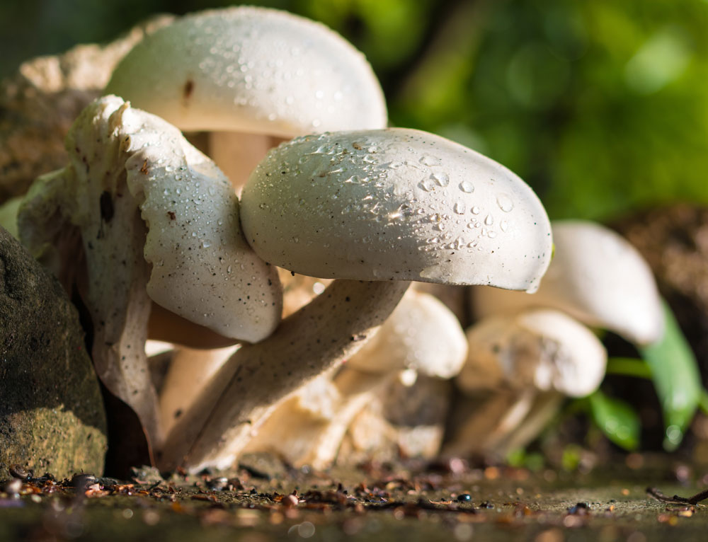 EFSA approves Vitamin D Mushrooms